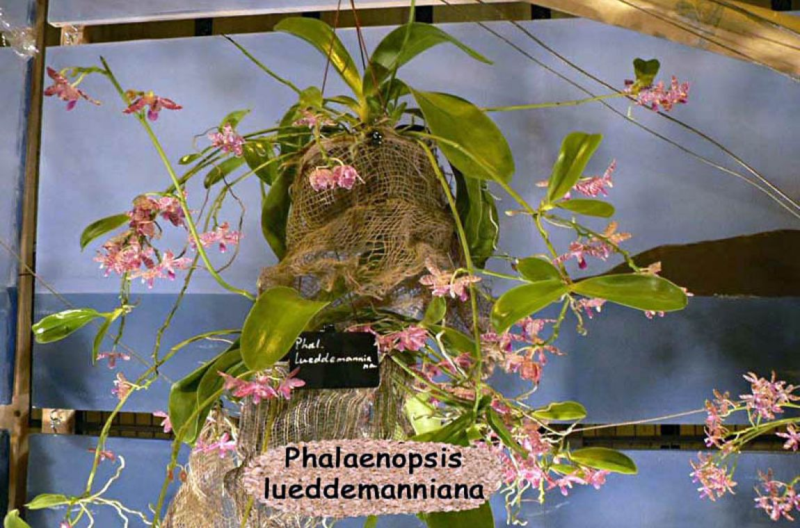 Décor 23 Phalenopsis luedemaniana